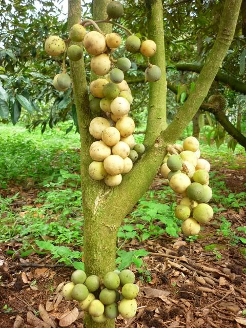 Kết quả hình ảnh cho cây bòn bon
